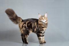 Gatito de Maine Coon que se coloca con la cola peluda, color negro de Tabby Blotched, 6 meses Foto del estudio del gatito rayado Foto de archivo