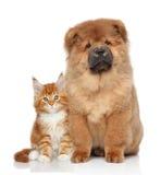 Gatito de Maine Coon y perrito de Chow Chow imagen de archivo libre de regalías