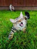 Gatito de Mainecoon que juega con la hierba en el jardín Fotografía de archivo