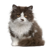 Gatito de pelo largo británico, 3 meses, sentándose Imagen de archivo