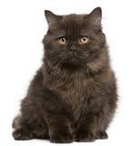 Gatito de pelo largo británico, 3 meses, sentándose Imágenes de archivo libres de regalías