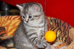 Gatito de plata rayado juguetón con la bola Foto de archivo libre de regalías