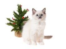 Gatito de Ragdoll con el árbol de navidad Imagen de archivo libre de regalías