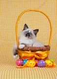 Gatito de Ragdoll con la cesta de los huevos de Pascua Imágenes de archivo libres de regalías