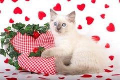 Gatito de Ragdoll con los apoyos de la tarjeta del día de San Valentín Fotografía de archivo