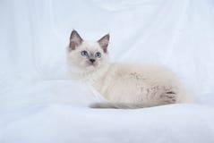 Gatito de Ragdoll de la punta azul en el fondo blanco Foto de archivo
