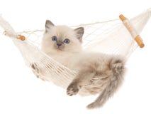 Gatito de Ragdoll de la punta azul en hamaca Fotografía de archivo