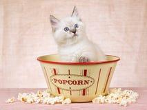 Gatito de Ragdoll dentro del tazón de fuente de las palomitas Fotos de archivo