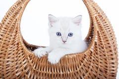 Gatito de Ragdoll en cesta de la campana Fotografía de archivo libre de regalías