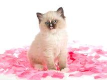 Gatito de Ragdoll en los pétalos color de rosa rosados Imágenes de archivo libres de regalías