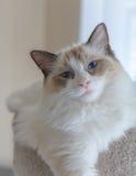 Gatito de Ragdoll en luz suave Fotografía de archivo