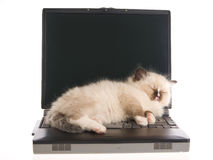 Gatito de Ragdoll que duerme en la computadora portátil en BG blanca Foto de archivo