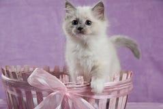 Gatito de Ragdoll que se levanta en cesta rosada Foto de archivo libre de regalías