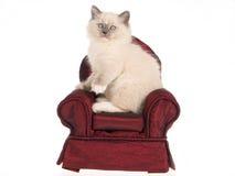 Gatito de Ragdoll que se sienta en la mini silla de Borgoña Fotografía de archivo