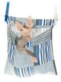 Gatito de Sphynx en bolso de la clavija en el fondo blanco Imagenes de archivo