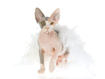 Gatito de Sphynx envuelto en boa de pluma blanca Foto de archivo