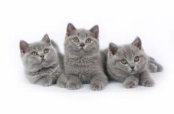 Gatito de tres Británicos Foto de archivo libre de regalías