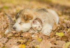 Gatito del abarcamiento del perrito el dormir en las hojas de otoño Imagenes de archivo