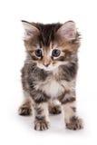Gatito del Bobtail de Kuril Fotografía de archivo libre de regalías