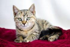 Gatito del calicó del gato atigrado en la manta roja del terciopelo Imagen de archivo