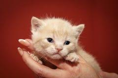 Gatito del chocolate en casa Gato joven juguetón foto de archivo