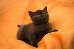Gatito del chocolate en casa Gato joven juguetón fotos de archivo libres de regalías