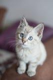 Gatito del color claro fotografía de archivo