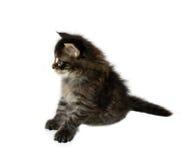 Gatito del coon de Maine Imagen de archivo libre de regalías