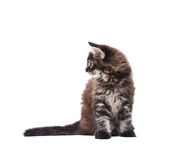 Gatito del coon de Maine Fotos de archivo