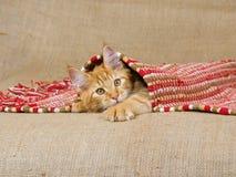 Gatito del Coon de Maine que mira furtivamente bajo la alfombra Fotografía de archivo