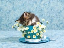 Gatito del Coon el dormir Maine en taza Imagenes de archivo