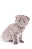 Gatito del doblez del escocés Foto de archivo libre de regalías