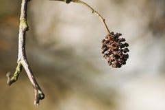 Gatito del flor del glutinosa del Alnus Fotografía de archivo libre de regalías