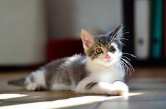 Gatito del gato Fotografía de archivo