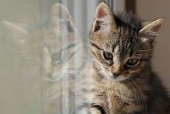 Gatito del gato atigrado Foto de archivo libre de regalías