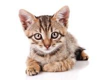 Gatito del gato atigrado Imagen de archivo