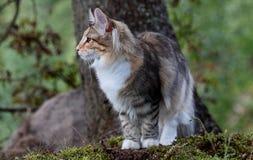 Gatito del gato del bosque y tronco de árbol noruegos Foto de archivo
