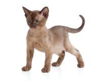 Gatito del gato Burmese en blanco foto de archivo libre de regalías