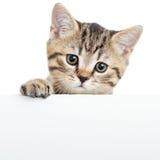 Gatito del gato que cuelga sobre el cartel o el tablero en blanco Fotos de archivo