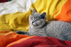 Gatito del gris de británicos Shorthair Imágenes de archivo libres de regalías