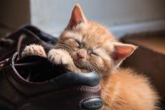 Gatito del jengibre Foto de archivo