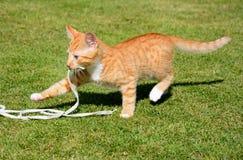 Gatito del jengibre que juega con una secuencia Imagen de archivo