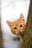 Gatito del jengibre que mira derecho usted Imagen de archivo libre de regalías