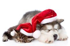 Gatito del perrito del malamute de Alaska y del mapache de Maine con el sombrero rojo de santa Aislado en blanco foto de archivo libre de regalías