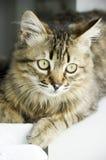 Gatito del Tabby foto de archivo libre de regalías