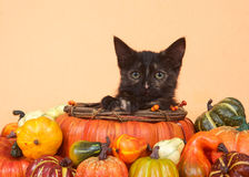 Gatito del tortie de la cosecha del otoño en cesta de la calabaza Fotos de archivo libres de regalías