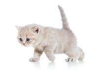 Gatito divertido del gato que camina Fotografía de archivo libre de regalías