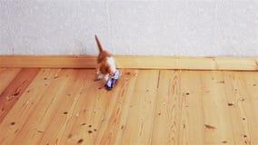 Gatito divertido del jengibre que intenta coger el juguete almacen de video