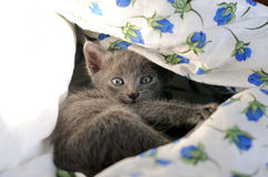 Gatito doméstico Fotografía de archivo