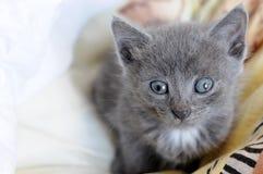 Gatito doméstico Fotografía de archivo libre de regalías
